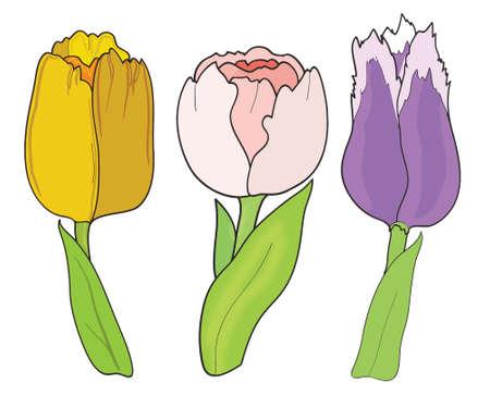 women s day: Tulip. Set on white background, vector illustration