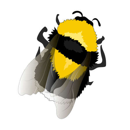 Illustration of Flying Bumblebee. Top View on White Background