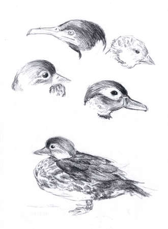 Sketch of different heads of birds