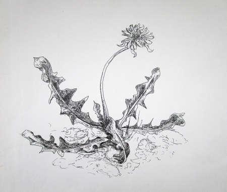 Ink blooming dandelion, summer graphic sketch, illustration