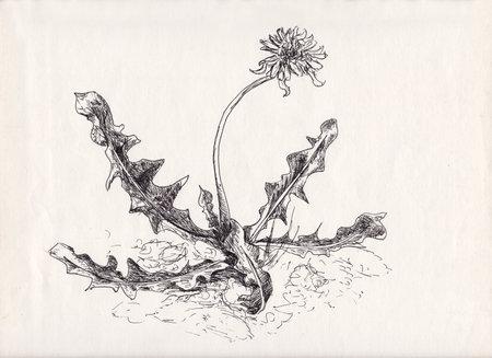 Graphic dandelion, botanic nature sketch, ink, pencil
