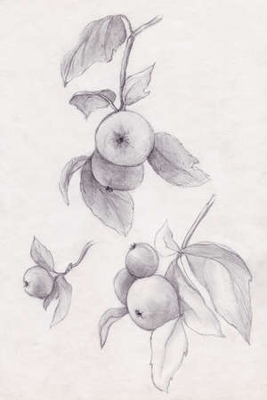 Apples on a tree, pencil sketch of branches 版權商用圖片
