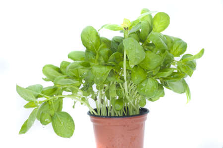 Basil Stock Photo - 18073572