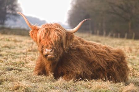 closeup cow face: Scottish highlander Stock Photo
