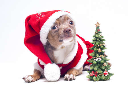 Christmas chihuahua photo