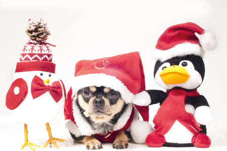Christmas chihuahuas Stock Photo - 18073654