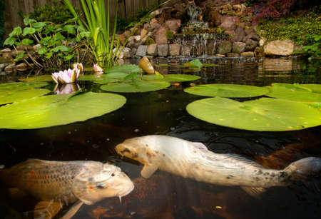 koi fish pond: Pond with fish Stock Photo