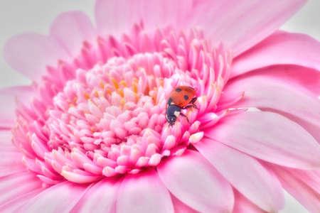 Pink gerbera with ladybug Stock Photo - 18042374