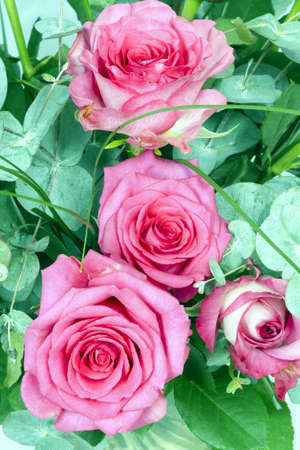 Pink roses Stock Photo - 18042474