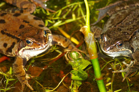 Frogs in the pond Stock Photo - 18043283