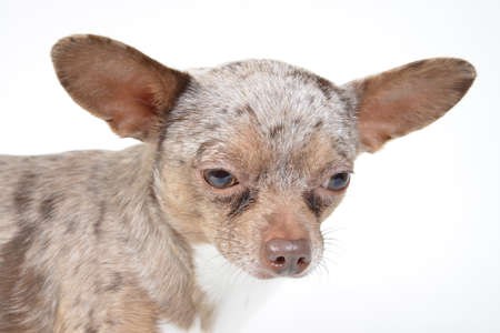 small chihuahua puppy dog on a white background Stock Photo - 18280707