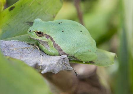 european treefrog Hyla Savignyi sitting on a leaf Stock Photo - 19113037