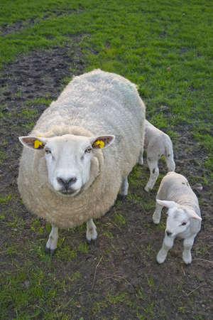 sheep lambs in a dutch meadow on a farm photo
