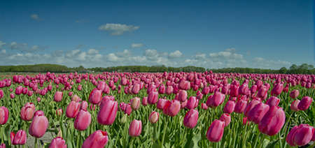 tulip fields in the south of the Netherlands Stock Photo
