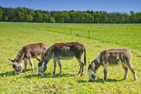 donkey mules on a farm in the Netherlands