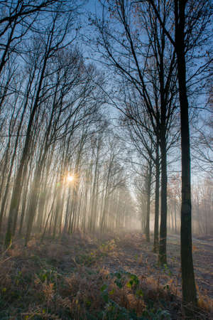 fog in the woods with rays of light between the trees