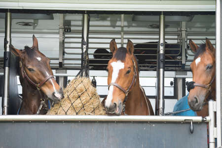 three horses fed in a horsetruck after the race Stock Photo