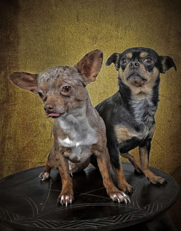 two chihuahuadogs posing on a table