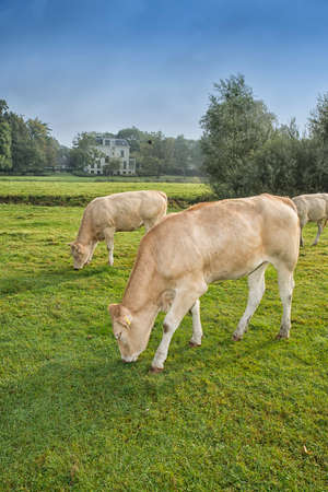 cows standing outside in a Dutch meadow Stock Photo