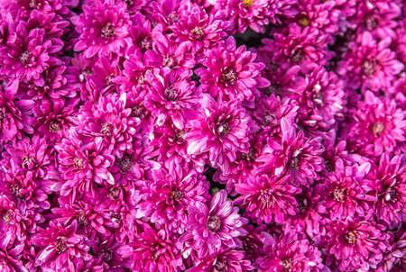 purple chrysant autumn flower bouquet background Stock Photo