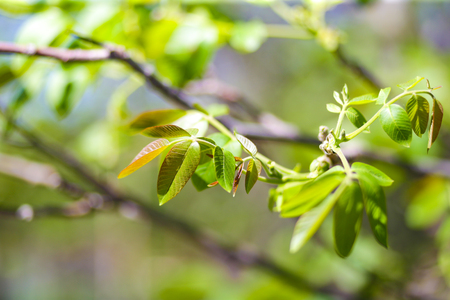 young leaves on a walnut branch in spring, close up Banco de Imagens