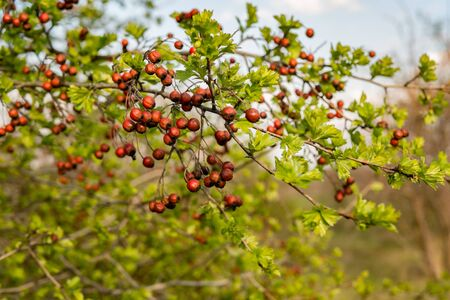 hawthorn tree branch with fruits green leaves, spring