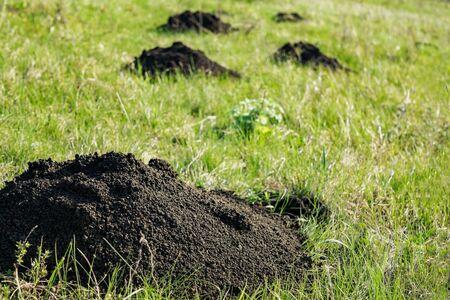 Mole hills on green grass. Close up Stok Fotoğraf