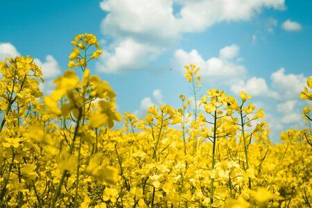 Rapeseed field, Blooming Rapeseed Rapeseed flowers close up.  Flowering rapeseed. Against the blue sky with clouds 写真素材