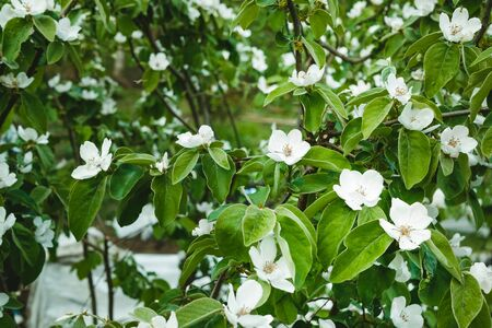 jasmine bloom, springtime, white jasmine flowers