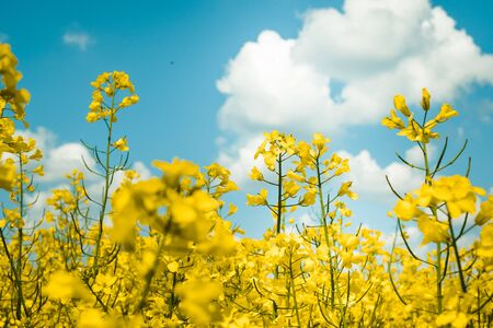 Rapeseed field, Blooming Rapeseed Rapeseed flowers close up.  Flowering rapeseed. Against the blue sky with clouds 写真素材 - 128772992