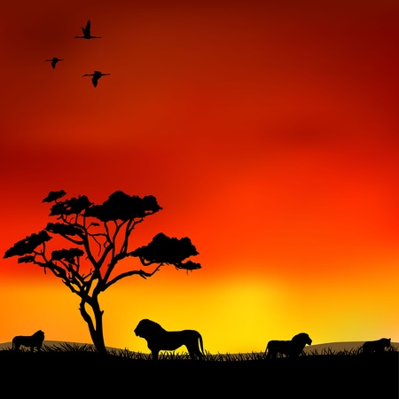 orange sunset: The lions in the savannah