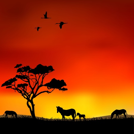 Zebras in the savanna at sunset