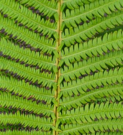 silver fern: fern