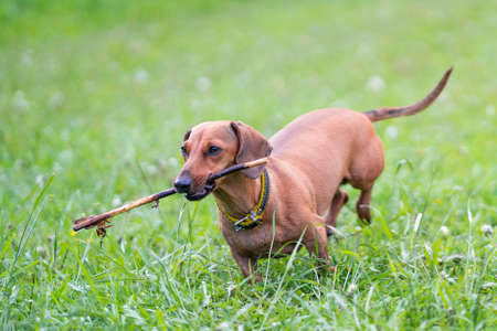 The brown dachshund plays on the grass with a cane in the teeth