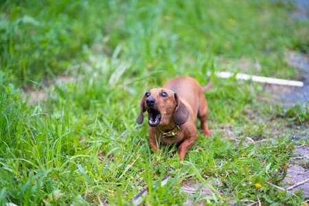 Angry dachshund growls teeth barked Stock Photo - 104792370