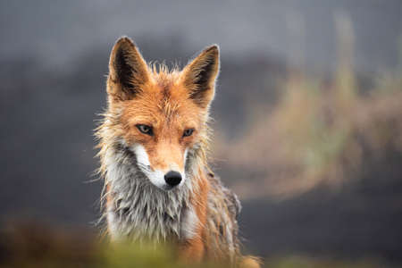 Fox in the wild close up. Red fox on the Kamchatka Peninsula, Russia.