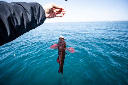 Fish in the hand of an angler. Rasp Sea Fishing