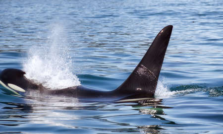 Killer Whale - (Orcinus Orca). Killer whale off the coast of Kamchatka, Russia.