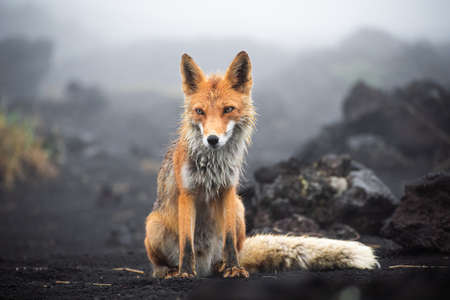 Wild Red Fox (Vulpes vulpes beringiana) standingon black sand. Kamchatka Peninsula, Russia Standard-Bild - 130773367