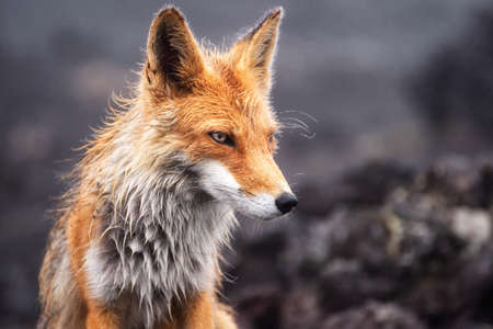 Close-up picture of a wild Red Fox. Stock fotó