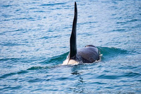 View of killer whale above water near Kamchatka Peninsula, Russia. The killer whale or orca (Orcinus orca) is a toothed whale belonging to the oceanic dolphin family, of which it is the largest member Standard-Bild - 130773437