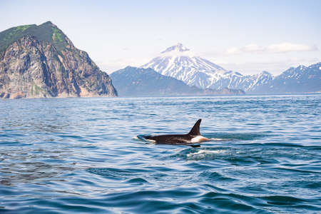 Killer whales in Pacific ocean.