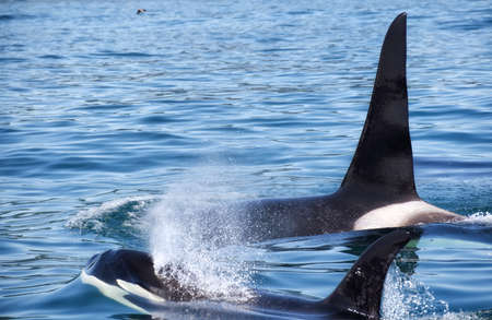 View of killer whale above water near Kamchatka Peninsula, Russia. The killer whale or orca (Orcinus orca) is a toothed whale belonging to the oceanic dolphin family, of which it is the largest member