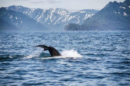 Killer whales in Pacific ocean.