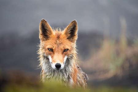 Wild fox looking into camera. Imagens