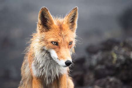 Wild fox looking into camera. Standard-Bild - 130773723