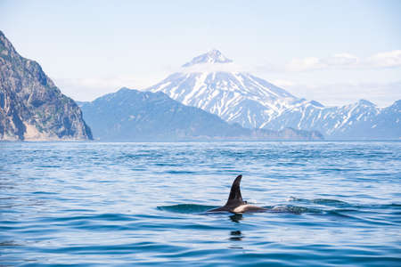 The dorsal fin of a killer whale is visible above the waters of the Pacific Ocean near the Kamchatka Peninsula, Russia. Orca is a toothed whale belonging to the oceanic dolphin family.