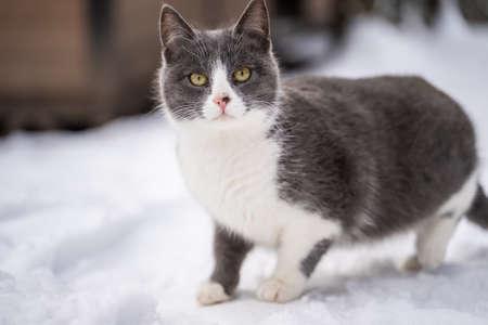 Cute kitten walking in the snow in winter.