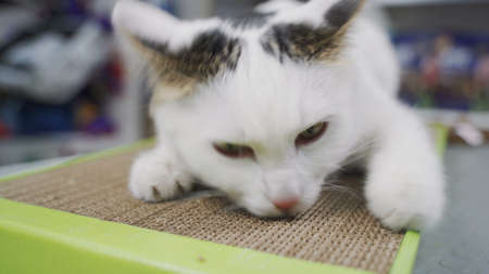 Funny cat enjoys his new claw grinding toy. Cat rolls on paper board