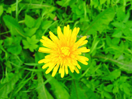 Photo of a beautiful dandelion in a grass. photo